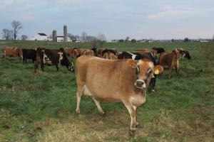 pregnant-jersey-cows