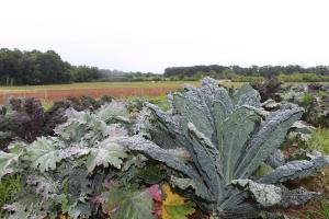 A patch of green kale growing in the Clemson Student Organic Farm