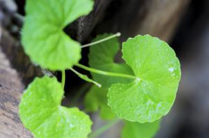 Centella asiatica - the ultimate anti-aging herb