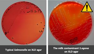 S.agona on XLD and CHROMagar