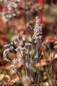 Close-up shot of sedum stalk going to seed.