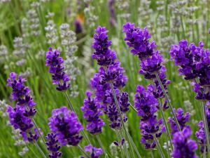 lavender, flower, kisser, english, garden, after, midnight